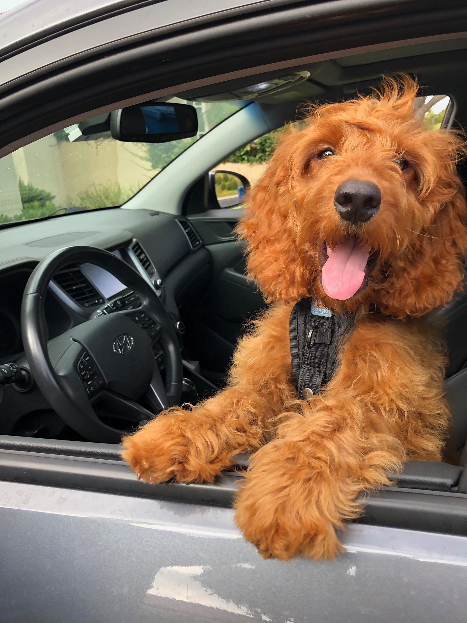 Kurgo® sécurise les déplacements en voiture avec ses solutions de transports pour chiens